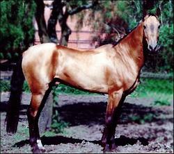 akhal-teke caballo