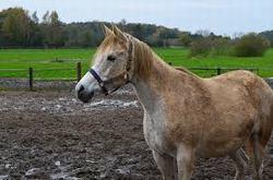 caballo arabe en el rodeo