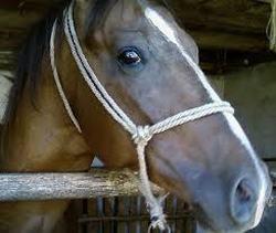 caballo arabe en establo