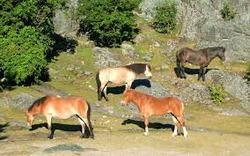 asturcon pony