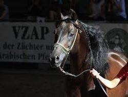 caballo arabe egipcio
