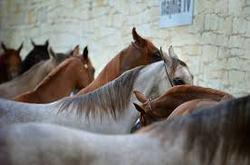 altura caballo arabe