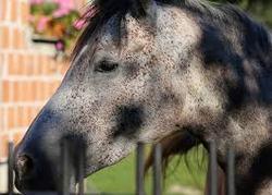 caballo arave