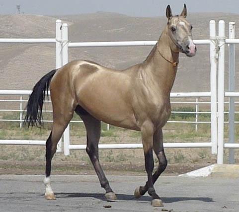 Akhal-teke dorado deportivo