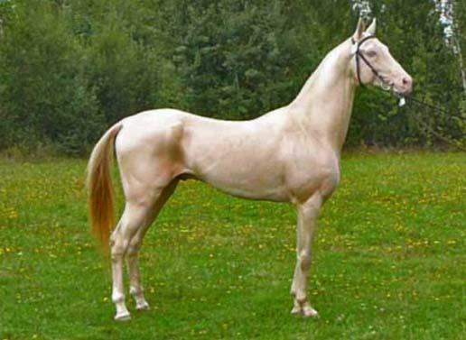 caballo akhal teke dorado