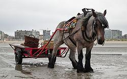 caballo tiro belga