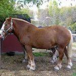 caballo de heck