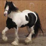 caballo dorado raza