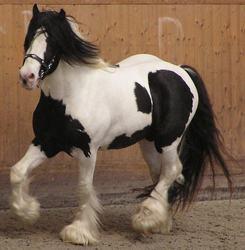 gotland pony