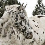 caballo percheron tamaño