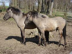 Dos caballos Heck en el zoológico de Stadt Haag, Austria