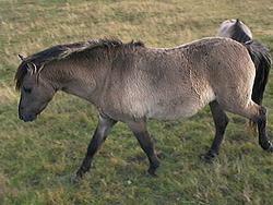 Heck caballo