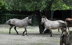 Heck caballos en el zoológico de Hellabrunn