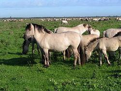 caballo trakehner