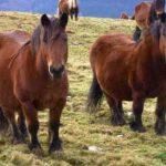 caballo jaca navarra