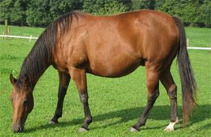 Quarter horse pastando
