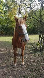 caballo belga de tiro