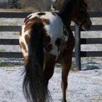caballo hackney