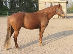warmblood hannoveriano