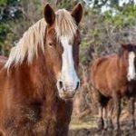 bereber caballo