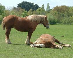 caballo percheron raza