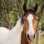 raza percheron caballo caracteristicas