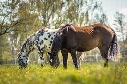 caracteristicas del caballo apalusa