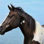 pottoka caballo