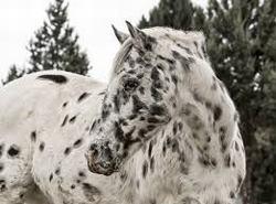 caballos appaloosa de carreras