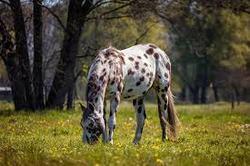 caballo apalosa
