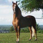 caballo hannoveriano caracteristicas