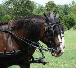 hackney horses