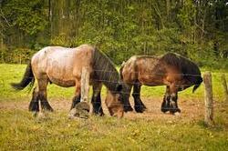 ardenes caballo