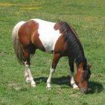 caballo berberisco caracteristicas
