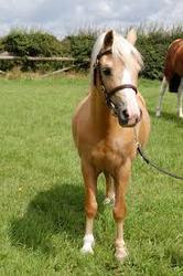 palomino caballo