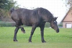percheron caballo