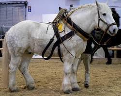 peso caballo percheron