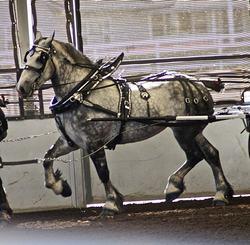 que es un caballo percheron