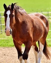 caballo percheron precio