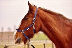 caballo percheron caracteristicas