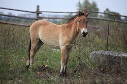Un caballo de Przewalski en la Zona de Exclusión de Chernobyl