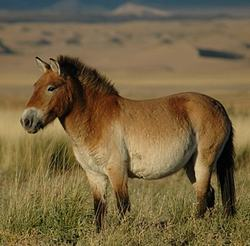przewalski caballo