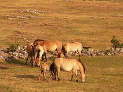 caballo mongol caracteristicas