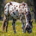 lipizzano caballo
