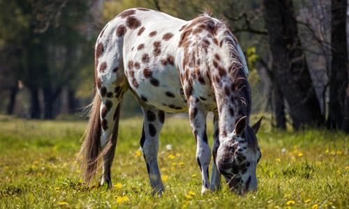 appaloosa caballo